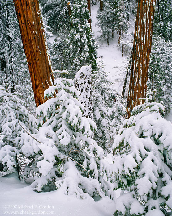 picture, photo, incense cedar, San Gorgonio, snow, fine art print, photo