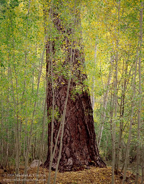 picture, photo, aspen, Ponderosa pine, autumn, fall color, San Gorgonio Wilderness, fine art print, photo