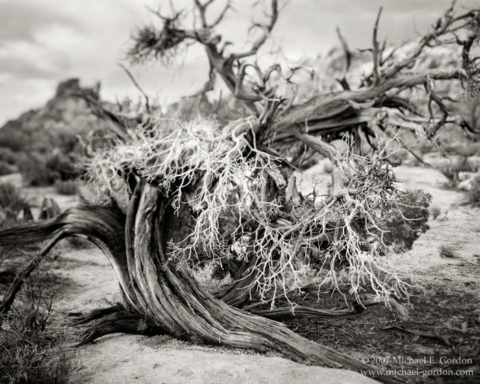 Joshua Tree National Park, Mojave Desert, Juniper, twisted, black and white, fine art photograph, fine art print, photo, picture, photo