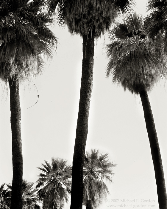 picture, photo, Mountain Palm Springs, native desert palm trees, Anza-Borrego, Washingtonia filifera, black and white, landscape, fine art print, photo