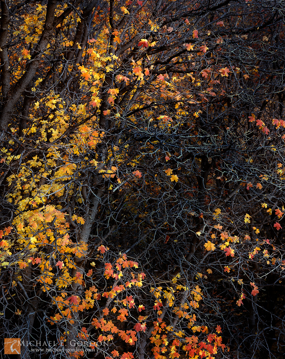 picture, photo, Canyon Maple, Acer grandidentatum, autumn, fall color, Stansbury Mountains, fine art print, photo