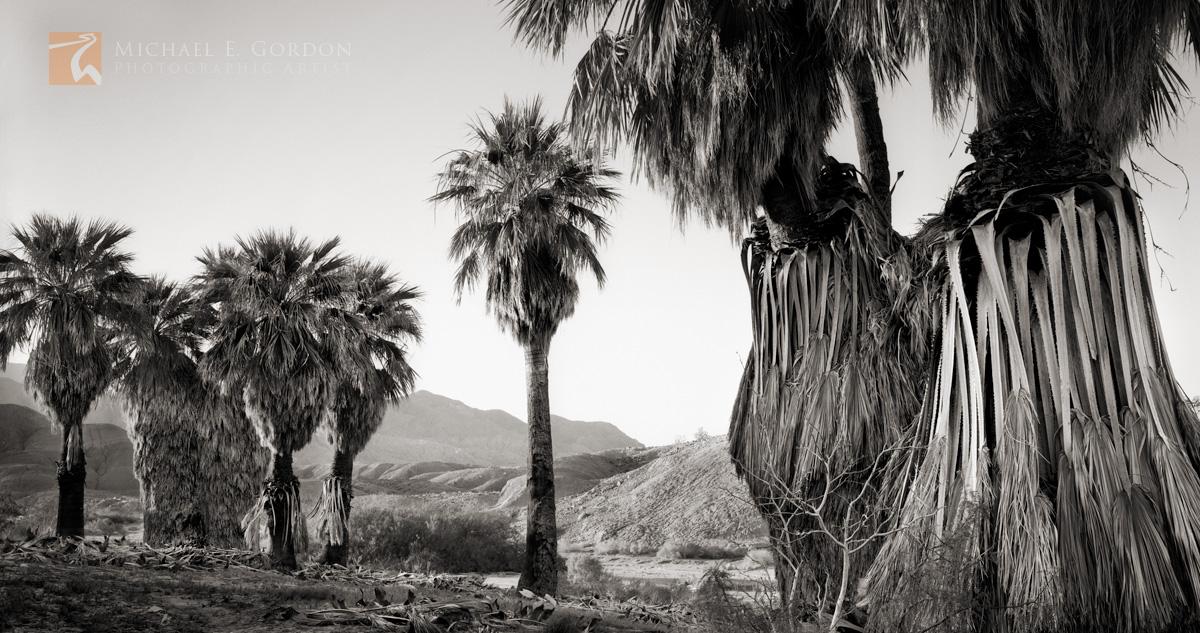 wild, native, Desert Palm Oasis, Anza-Borrego, Colorado Desert, Sonoran Desert, photo