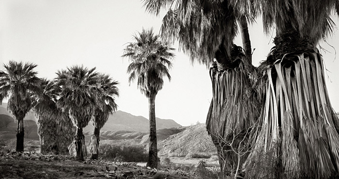 picture, photo, Desert Palm Oasis, Seventeen Palms Oasis, 17 Palms, Anza-Borrego, palm trees, black and white, landscape, fine art print, photo