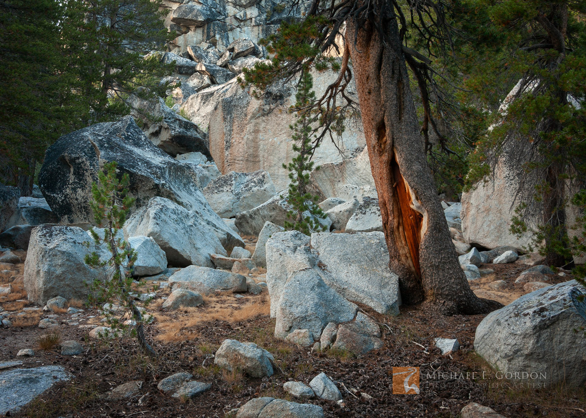 old, weathered, Lodgepole Pine, Pinus contorta, young, saplings, beautiful, granite, rock, garden, Yosemite, California, photo