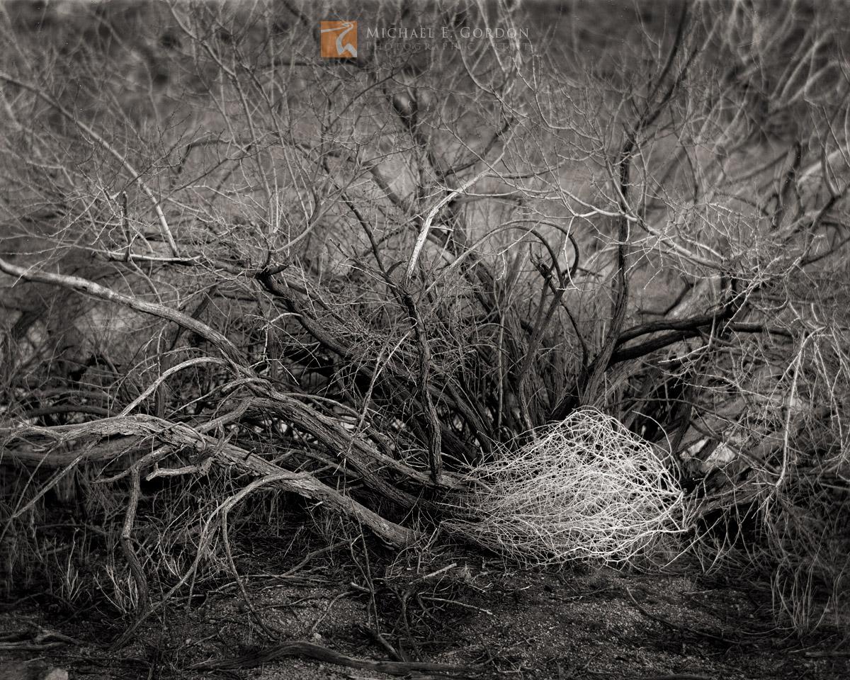 A windblown tumbleweed (Salsola tragus) in theshelter ofaCatclaw Acacia (Acacia greggii). Logos and watermarks...