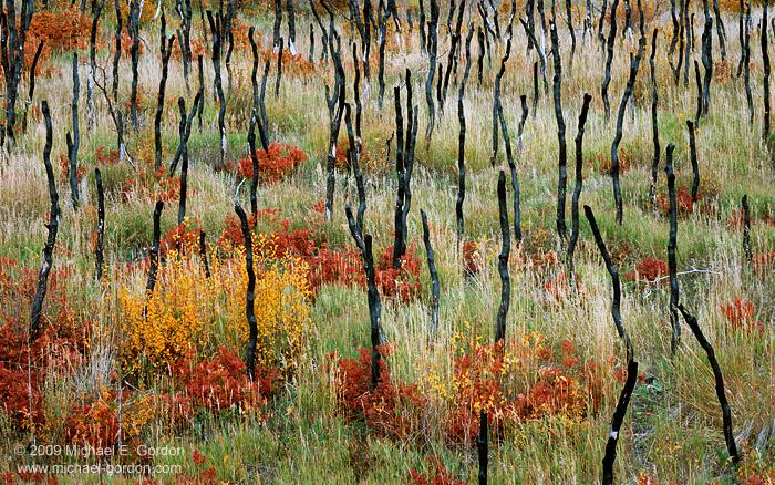 photo, picture, print, picture, photo, scrub oak, grass, burned trees, fall color, rejuvenation, fine art print, photo