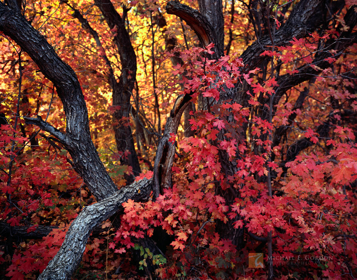 impressionistic, colorful, autumn, scene, Bigtooth maple, forest, Acer grandidentatum, Wasatch Mountains, photo