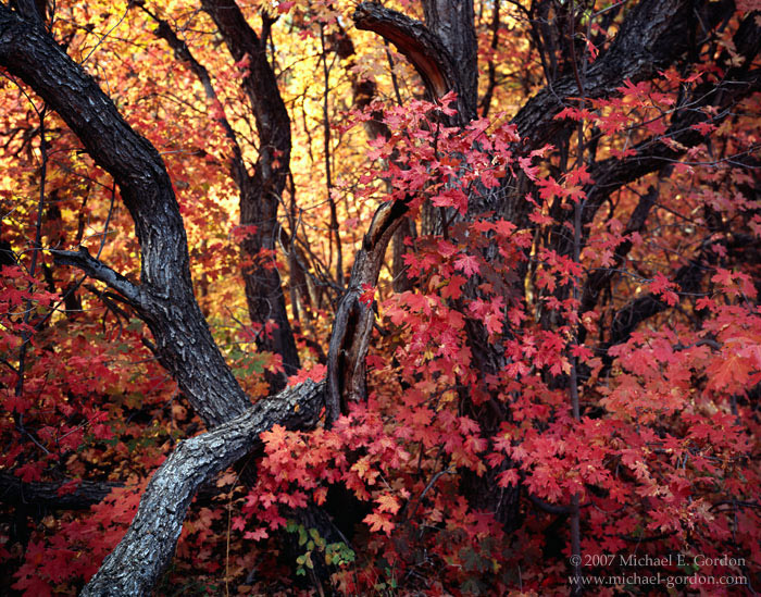 picture, photo, autumn, fall color, Wasatch Mountains, maple trees, fine art print, photo