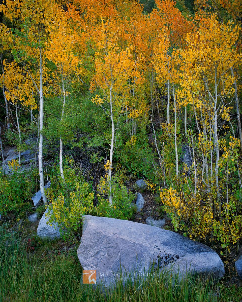 quiet, colorful, Quaking Aspen, Populus tremuloides, granite, boulders, Rock Creek Canyon, Sierra Nevada, photo