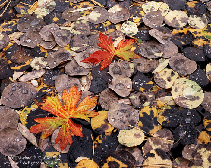 picture, photo, aspen, autumn leaves, autumn color, fall color, fine art print, photo