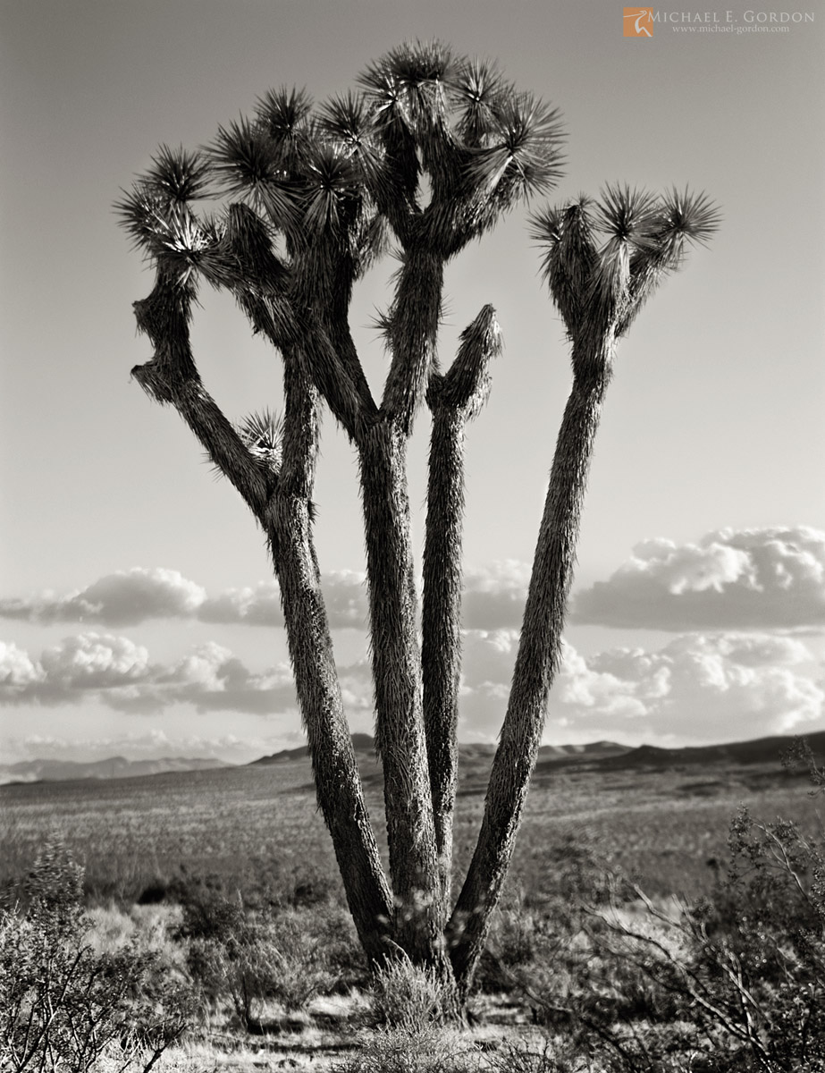 Joshua Trees,Yucca brevifolia,Rainbow Basin,Mojave Desert,monsoon clouds,cumulus,black and white,large format,photo,picture, photo