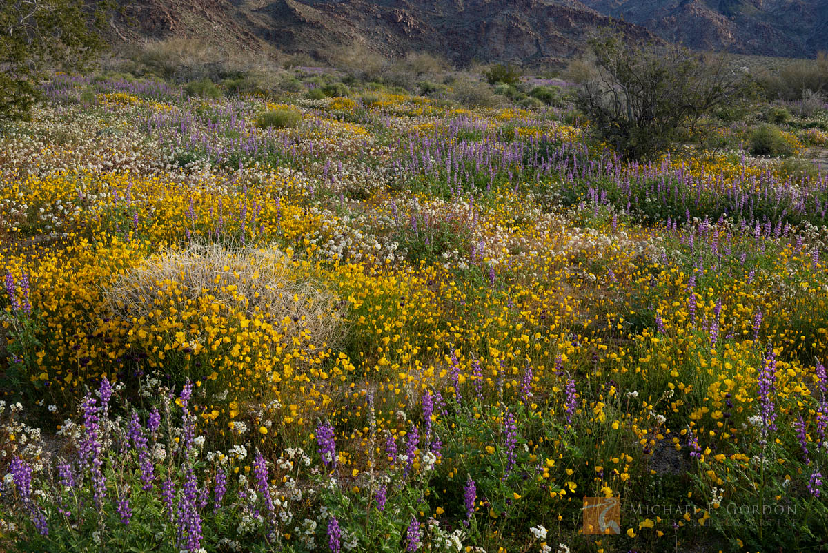 wildflower, superbloom, Desert Gold Poppies, Eschscholzia glyptosperma, Arizona Lupine, Lupinus arizonicus, Brown-eyed Evening Primrose, Camissonia claviformis, Joshua Tree National Park, California, , photo