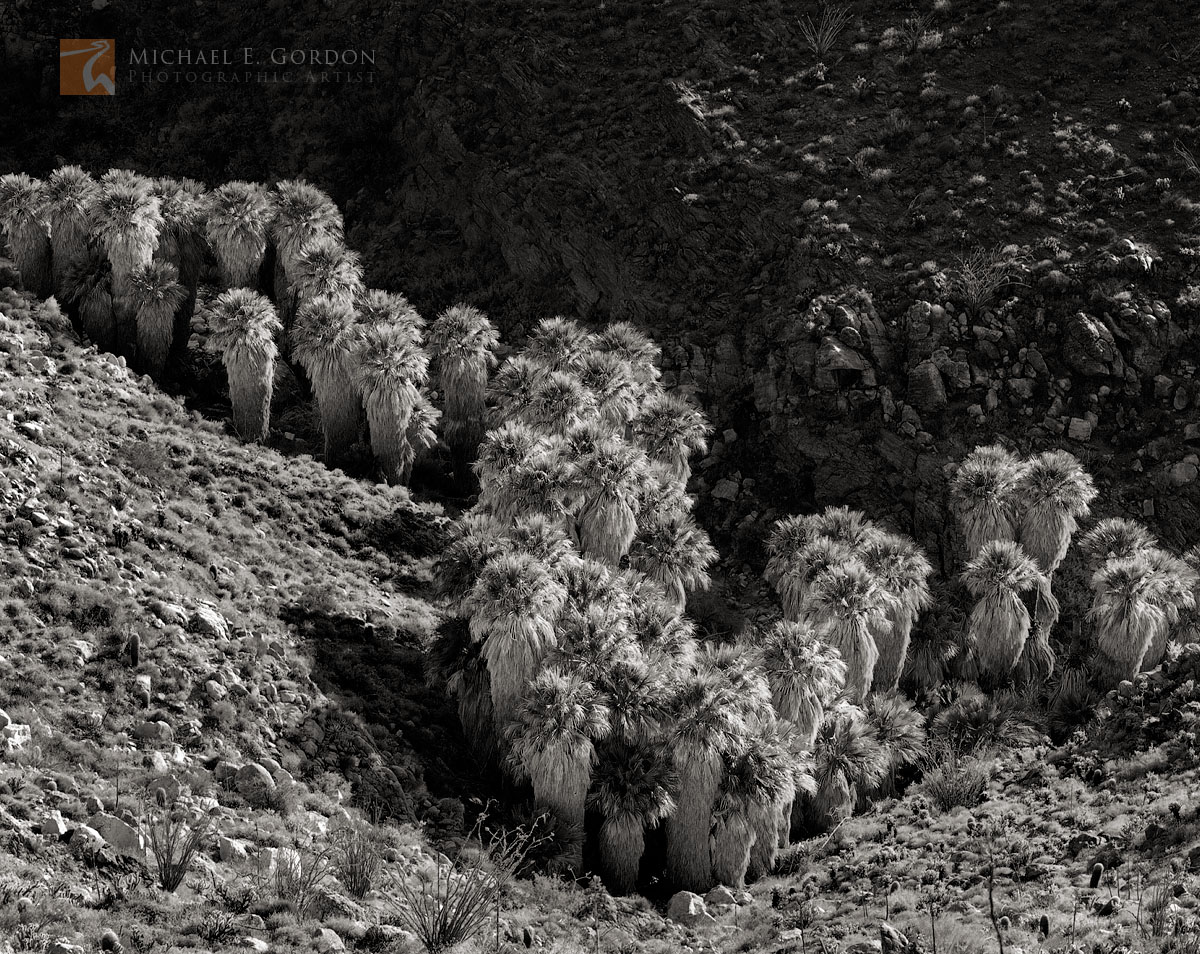 native, wild, desert palm oasis, Anza-Borrego, palm trees, Washingtonia filifera, photo