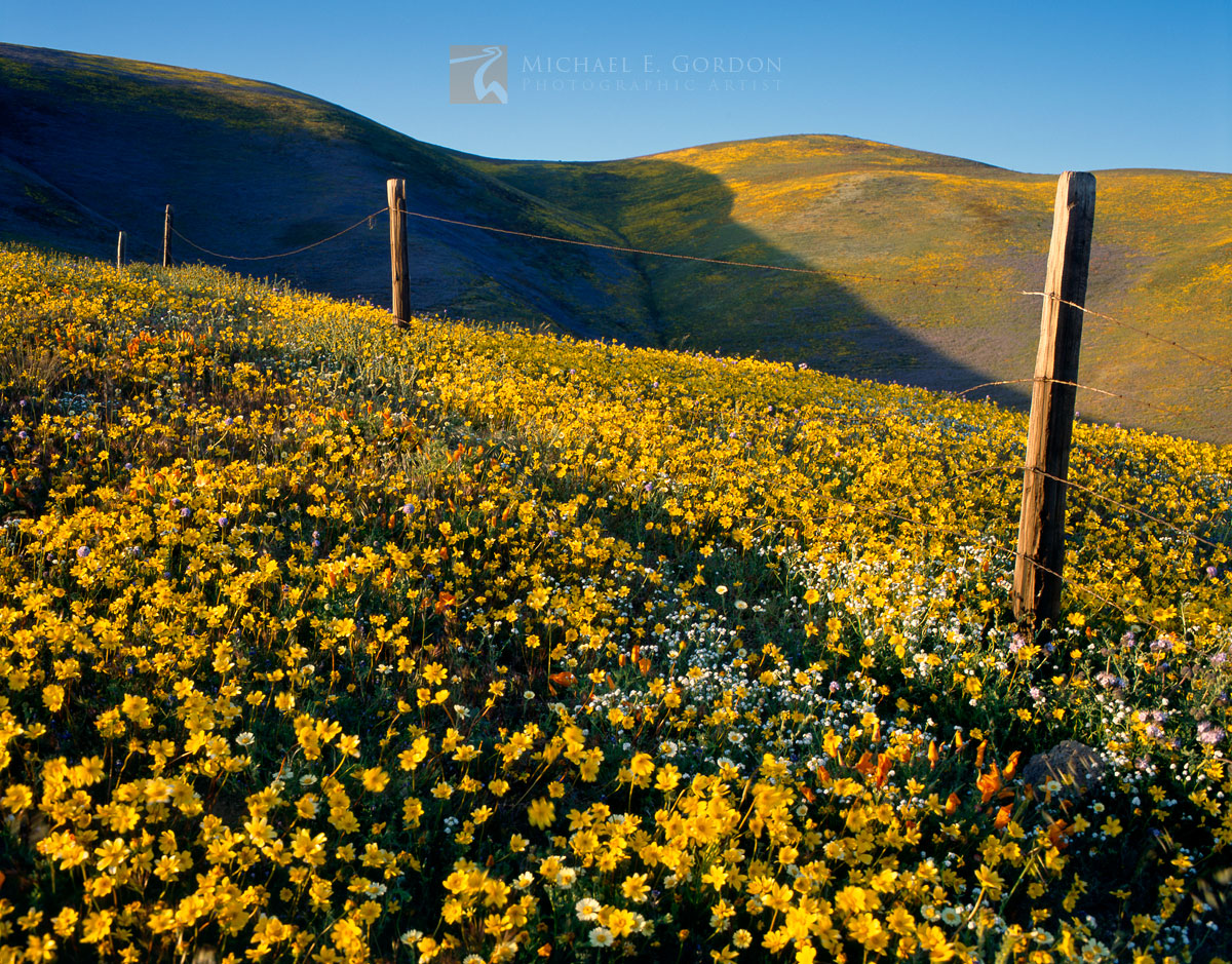 vast, wildflowers, fields, coreopsis, Lupine, Gorman, photo