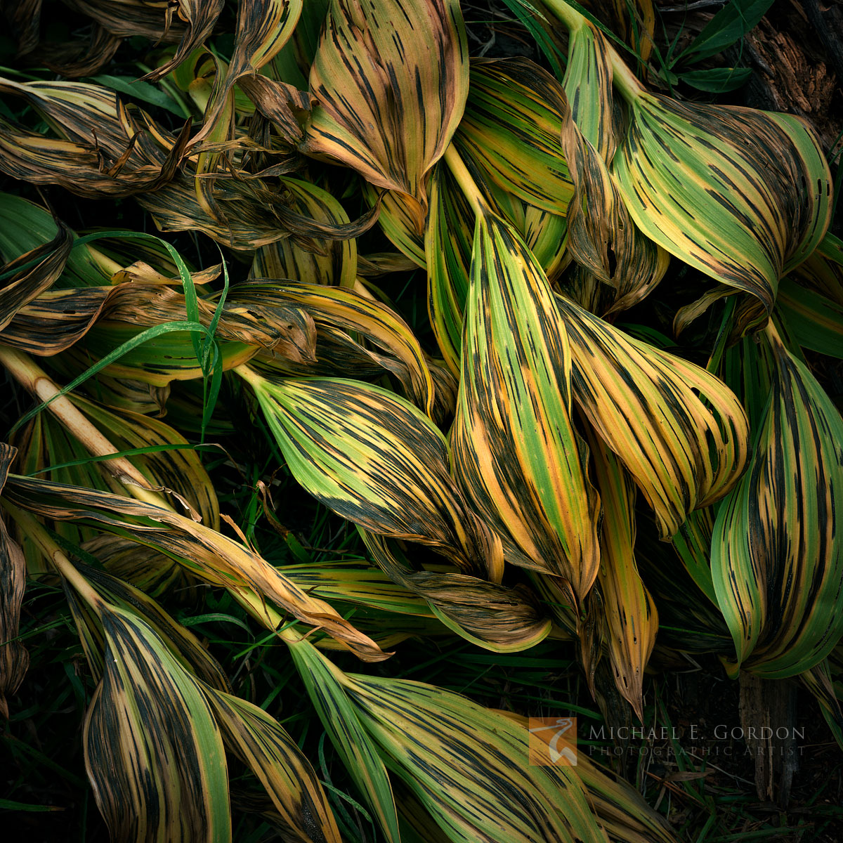 beauty, decay, elegant, graceful, Corn Lily, Veratrum californicum, autumn, color, death, Yosemite National Park, California, photo