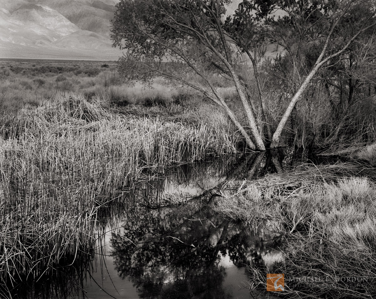 submerged, Cottonwood, tree, Populus, Cattails, Typha, Owens River, Inyo Mountains, Owens Valley, California, photo