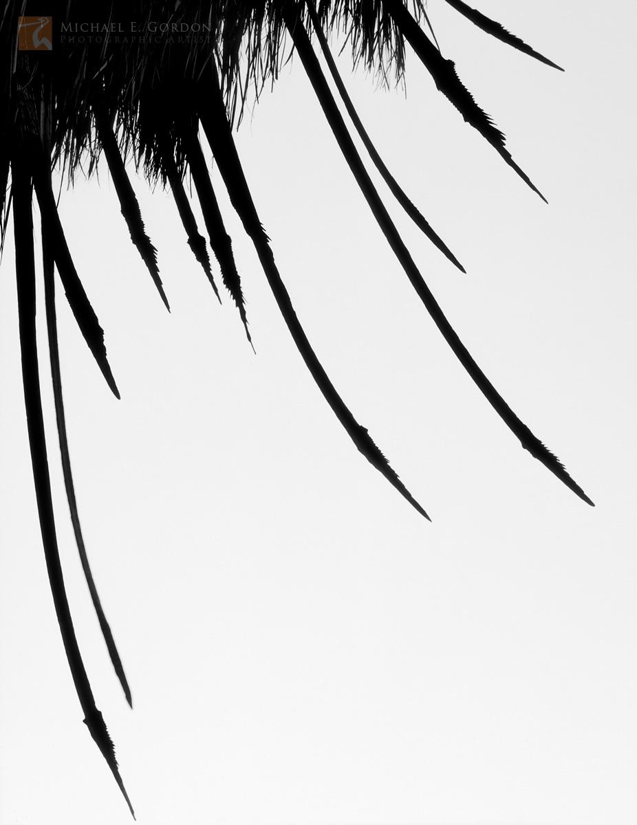 palm tree, petiole, Anza-Borrego, old, weathered frond, Washingtonia filifera, dagger, spear, Colorado Desert, Sonoran Desert, , photo