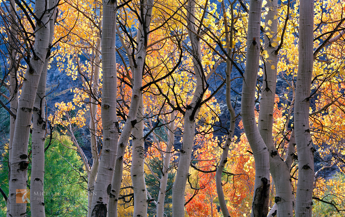 aspen, autumn, color, Bishop Creek, canyon, High Sierra, Sierra Nevada, Quaking Aspen, Populus tremuloides, grove, back-light, illuminate, , photo