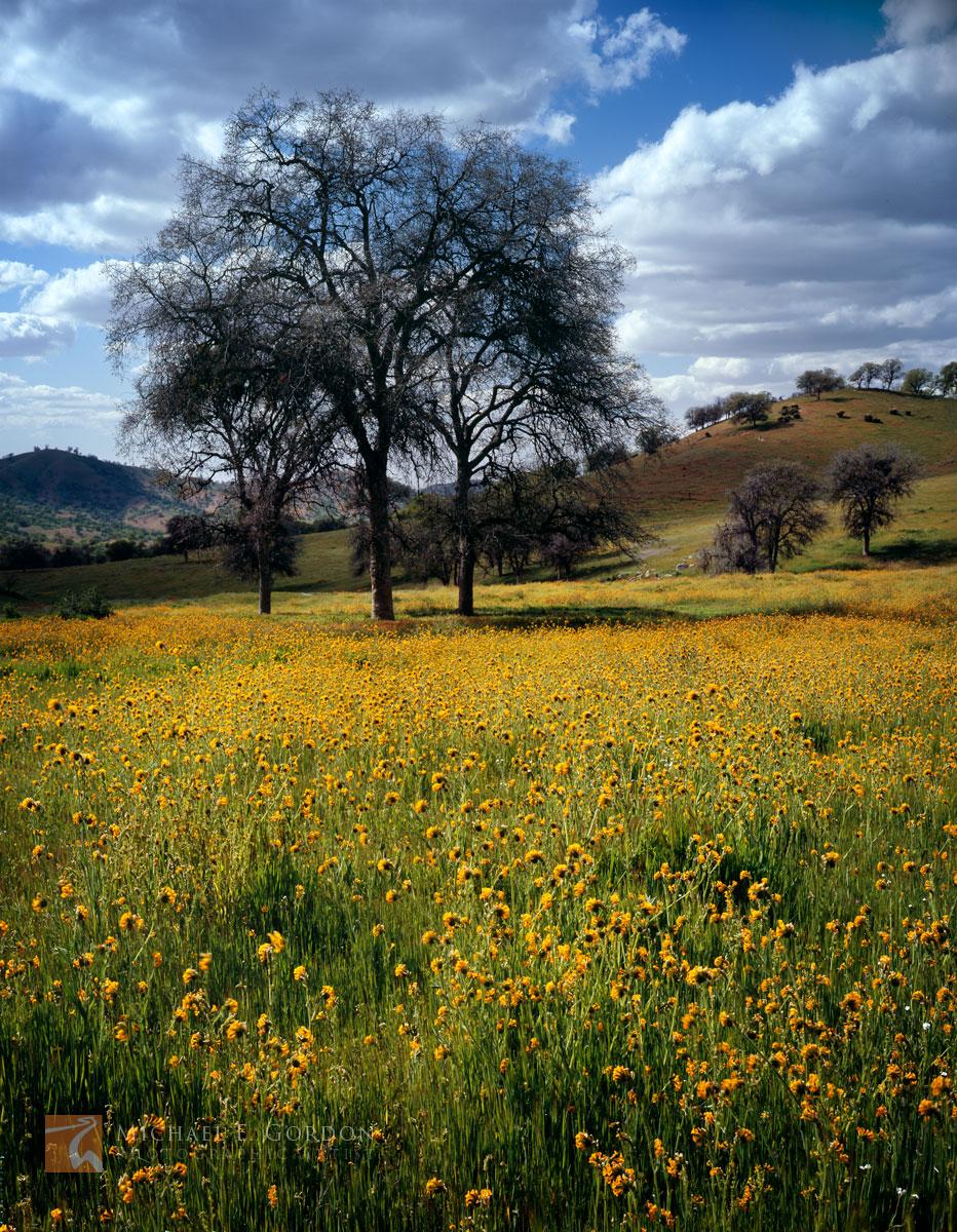 Menzies', Fiddleneck, wildflowers, Amsinckia menziesii, oak, trees, Quercus, rolling, foothills, Sierra Nevada, California, photo