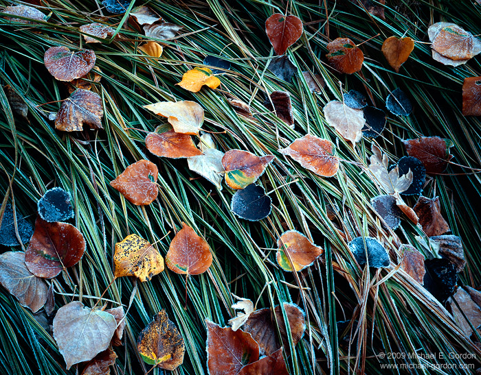 photo, picture, frost, cottonwood leaves, grass, autumn, fall color, photo