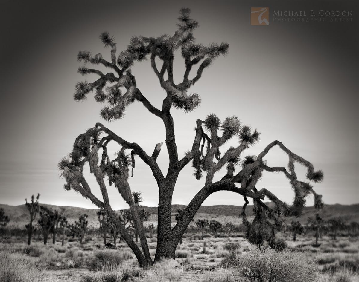 serene, morning, dawn, large, Joshua tree,Yucca brevifolia, Lost Horse Valley, , photo