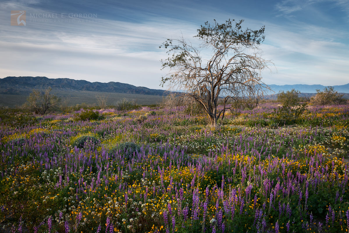 Shavers Valley, sunrise, wildflower, superbloom, Desert Gold Poppies, Eschscholzia glyptosperma, Arizona Lupine, Lupinus arizonicus, Brown-eyed Evening Primrose, Camissonia claviformis, Ironwood, tree, photo