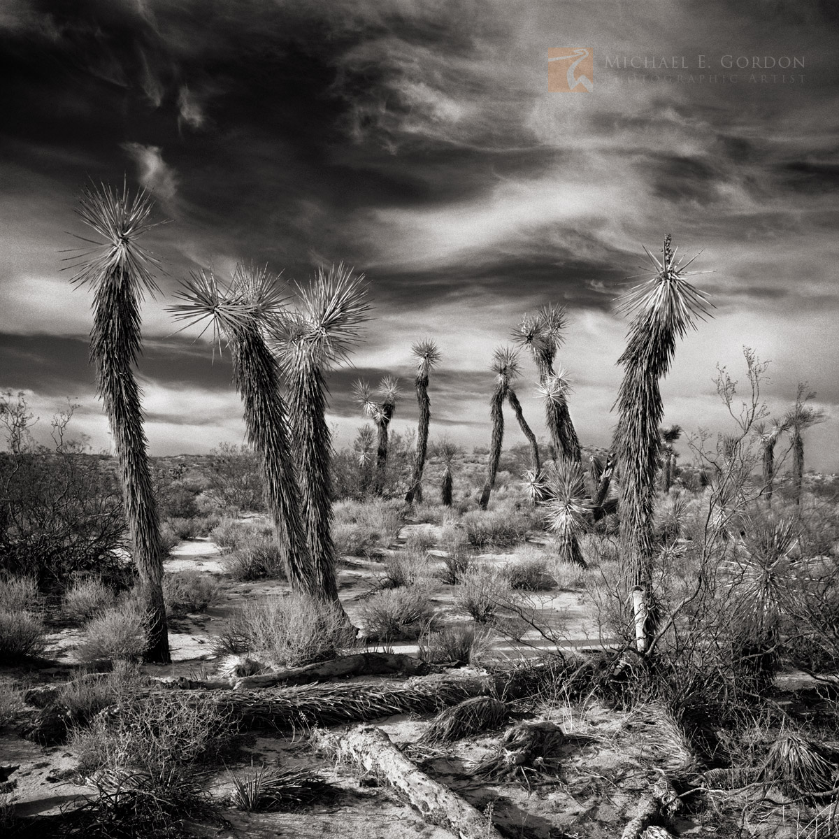 Joshua trees, Yucca brevifolia, unusual, Mojave desert, clouds, sky, cirrus, Indian Summer, photo
