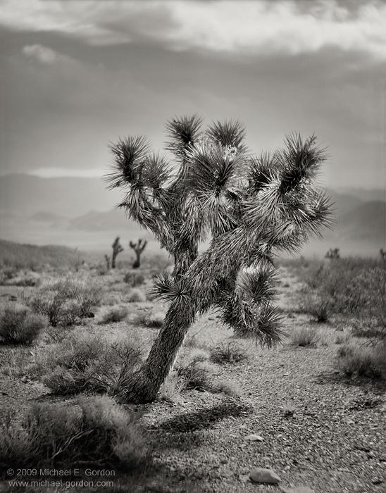 fine art, photo, picture, photograph, print, black and white, b/w, Joshua Tree, Yucca brevifolia, Mojave Desert, California