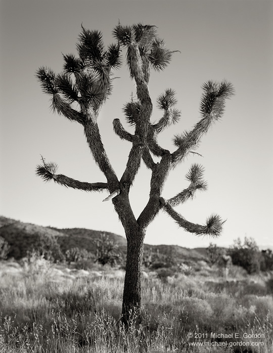 Joshua Tree, Yucca brevifolia, morning light, snakeweed, grass, New York Mountains, Mojave National Preserve, Mojave Desert, California, black and white, large format, photo, picture, photo