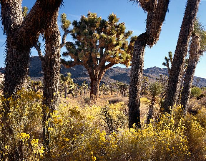 photo, picture, print, rabbitbrush, Chrysothamnus nauseosus, Joshua trees, Yucca brevifolia, blue sky, photo