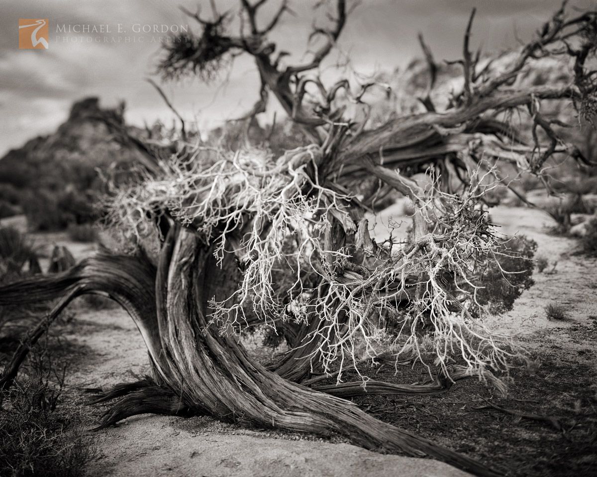 California Juniper, Juniperus californica, Joshua Tree National Park, Mojave Desert,, photo