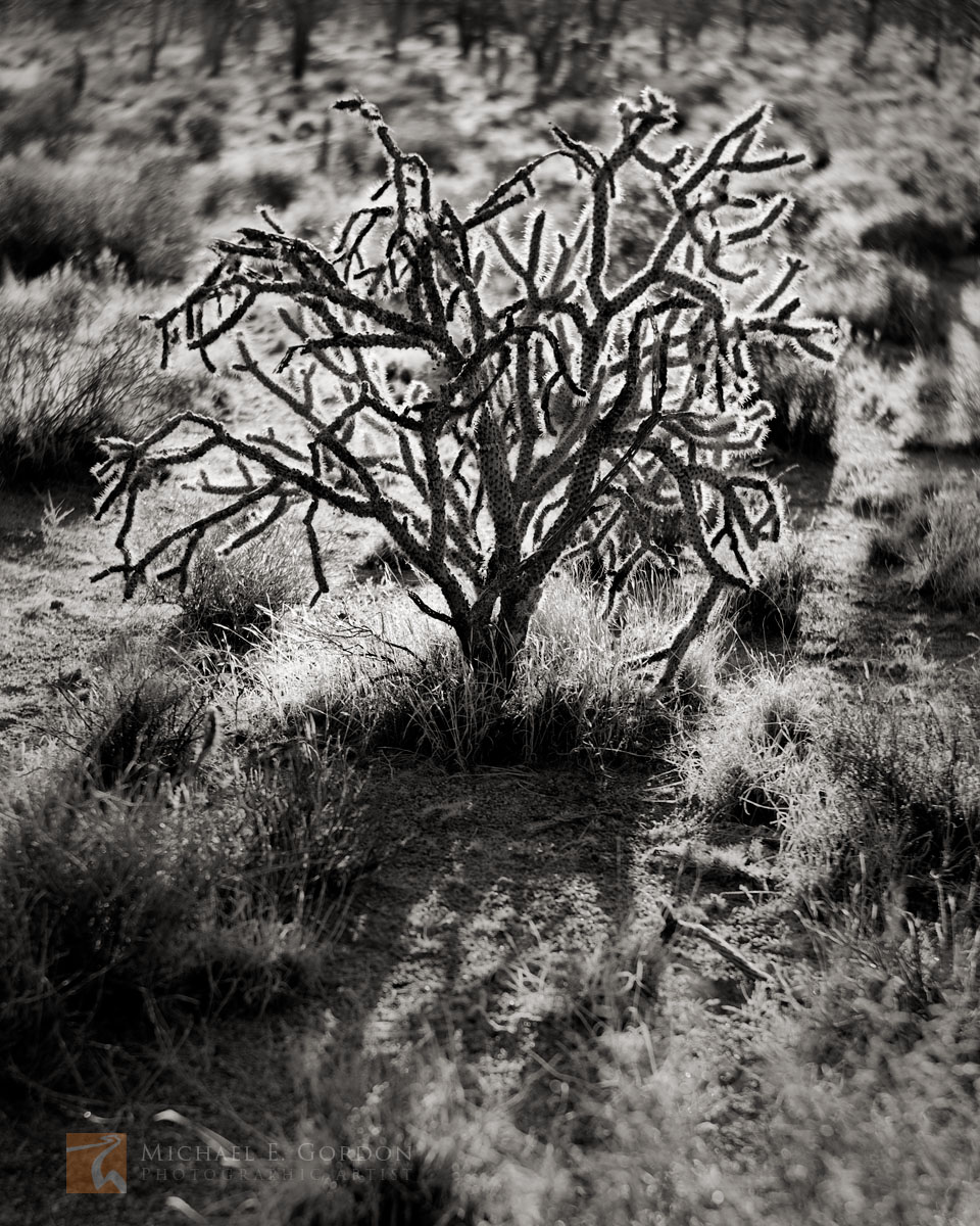 black and white, fine art photograph, fine art print, photo, picture, cholla, backlight, backlit, photo