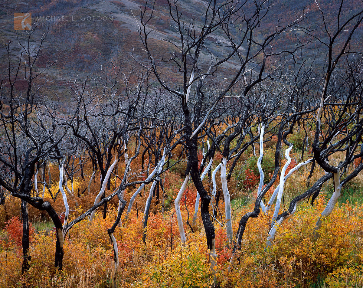 recovering, wildfire, burned, Gambel's Oak, Quercus gambelii, rich, autumn color, valley, Wasatch Mountains, Utah, photo