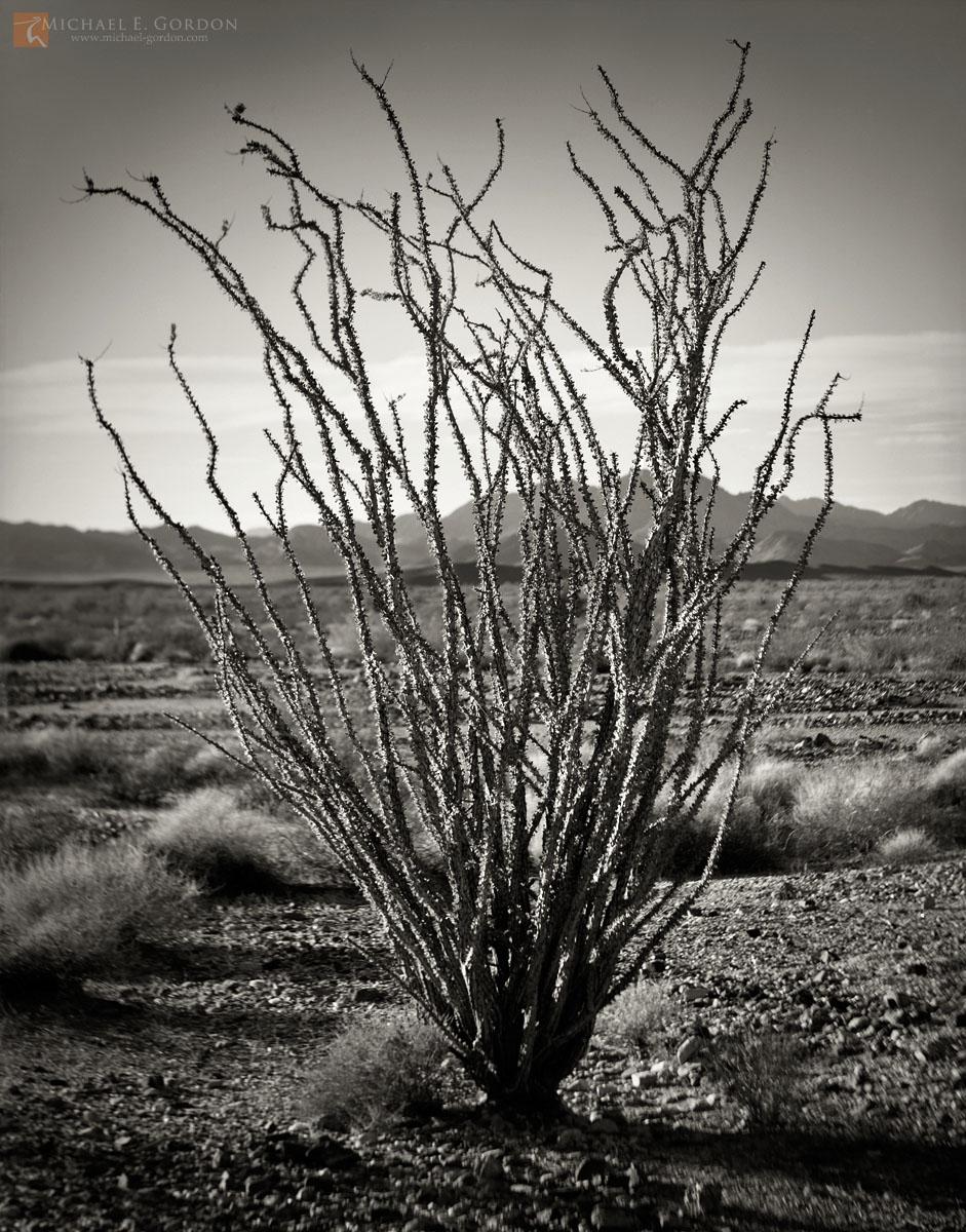 black and white, fine art photograph, print, picture, Ocotillo, Fouquieria splendens, Sonoran, Colorado, photo
