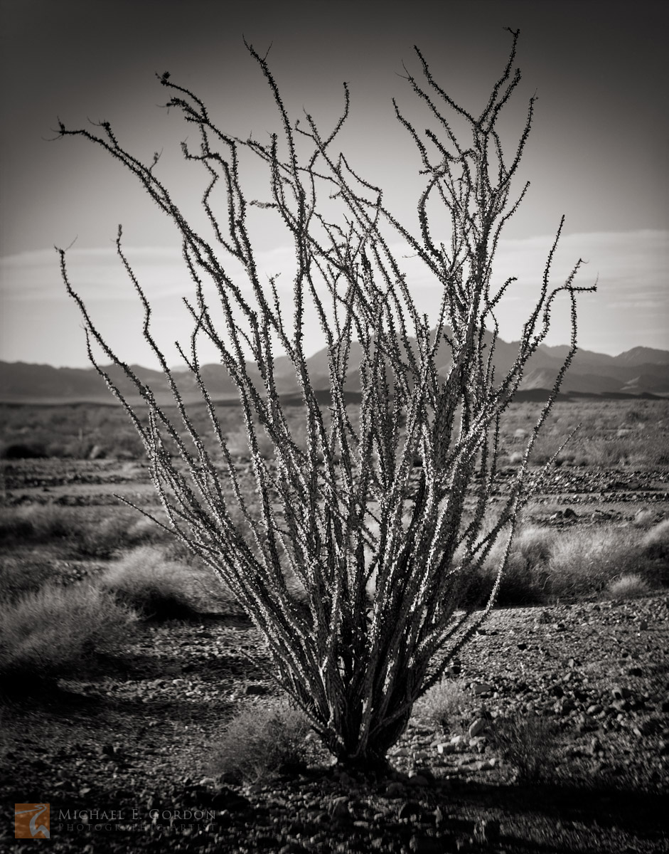 A lone Ocotillo (Fouquieria splendens) stands with poisebefore the Big Maria Mountains.Logos and watermarks are not found...
