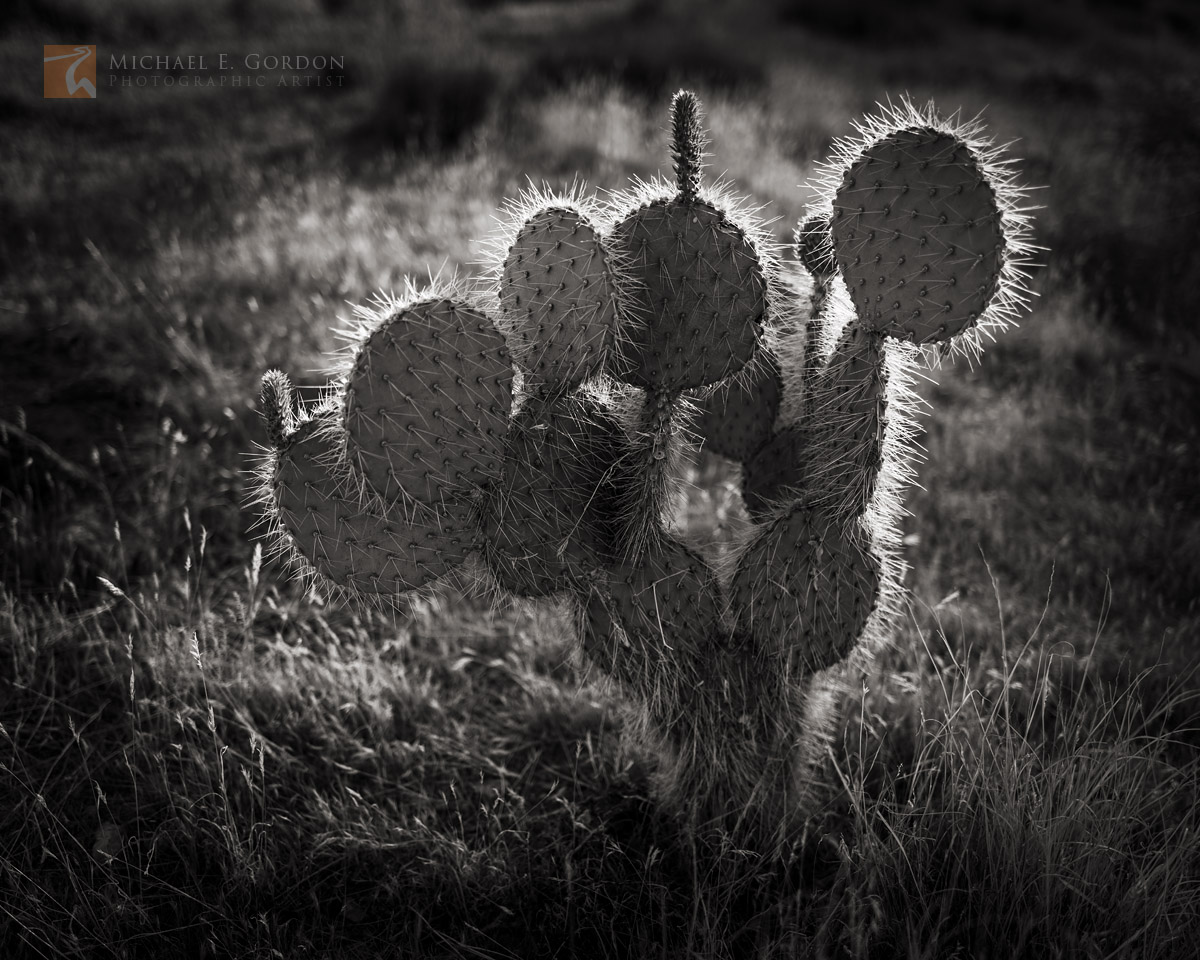 Pancake, Prickly-pear, Opuntia chlorotica, cactus, backlit, grass, delicate, Mojave National Preserve, California, photo
