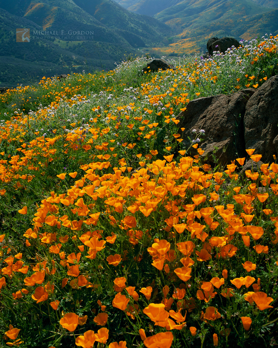 California, poppy, Eschscholzia californica, wildflowers, mountains, verdant, Riverside County, vast, landscape, photo