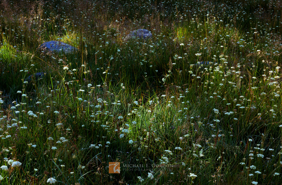 A High Sierra meadow carpeted with Parish's Yampah wildflowers (Perideridia parishii) is dappled by early morning light.Logos...