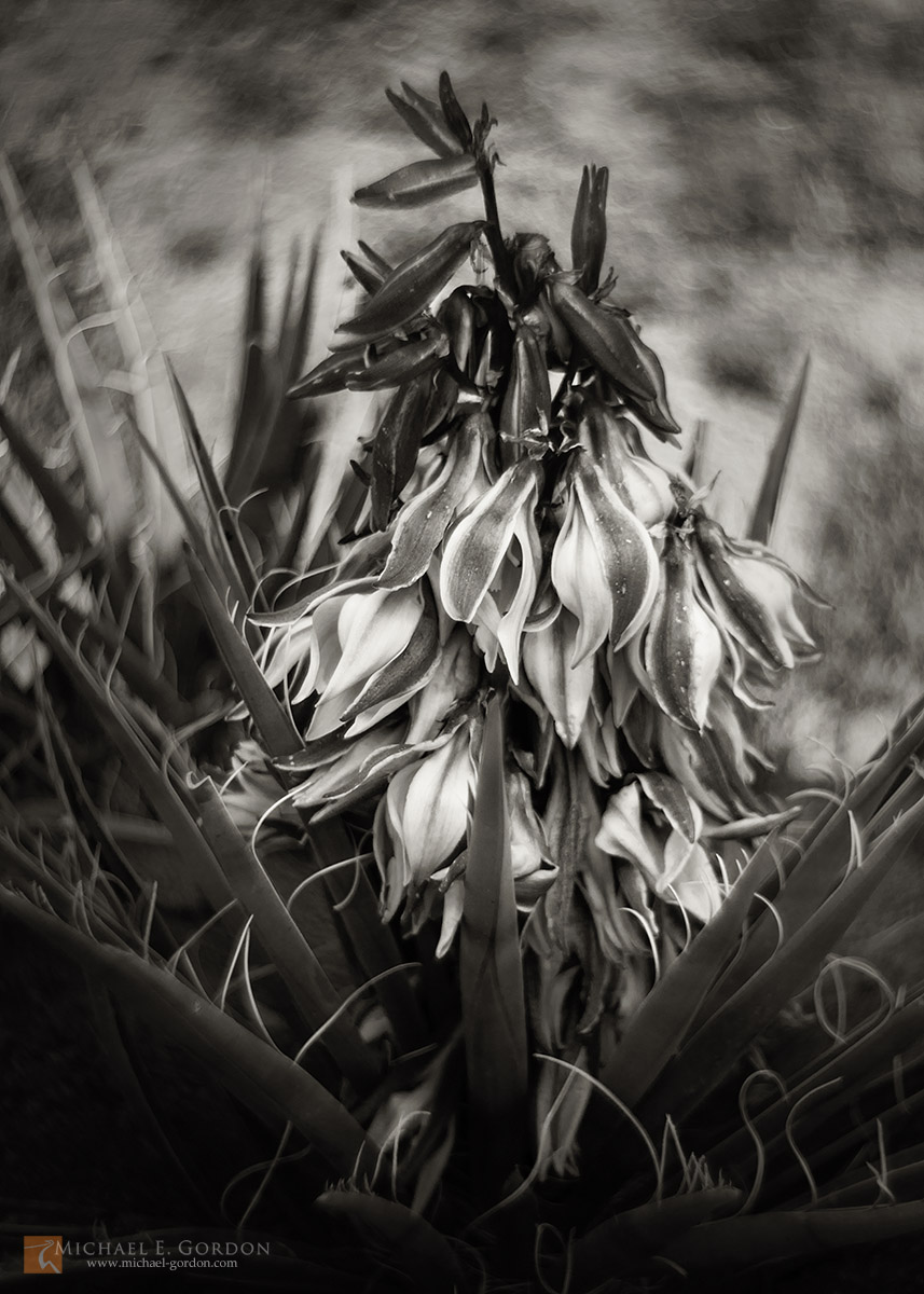 photo,picture,image,black and white,b&w,b/w,Banana,Yucca,Datil,baccata,flower,full,bloom,spring,
