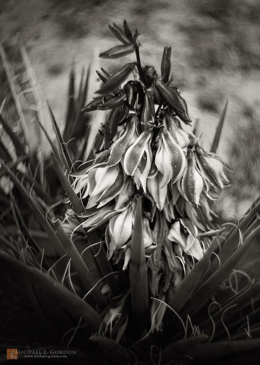 photo,picture,image,black and white,b&w,b/w,Banana,Yucca,Datil,baccata,flower,full,bloom,spring, Mojave,desert,b&w, photo