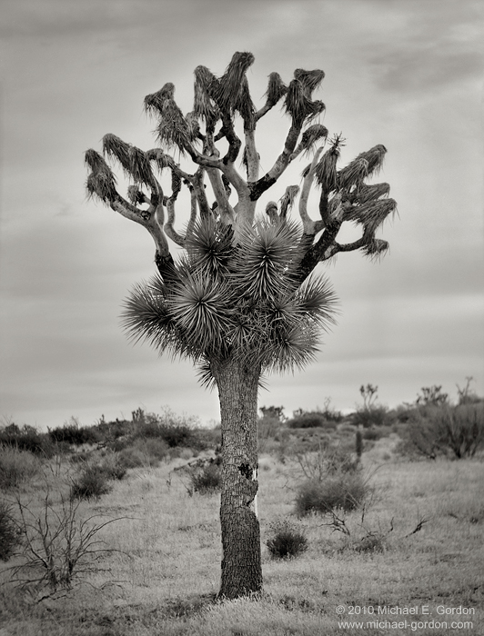 Joshua Tree, Yucca brevifolia, wildfire, regrowth, regeneration, Joshua Tree National Park, Mojave Desert, California, black and white, color, large format, photo, picture, photo