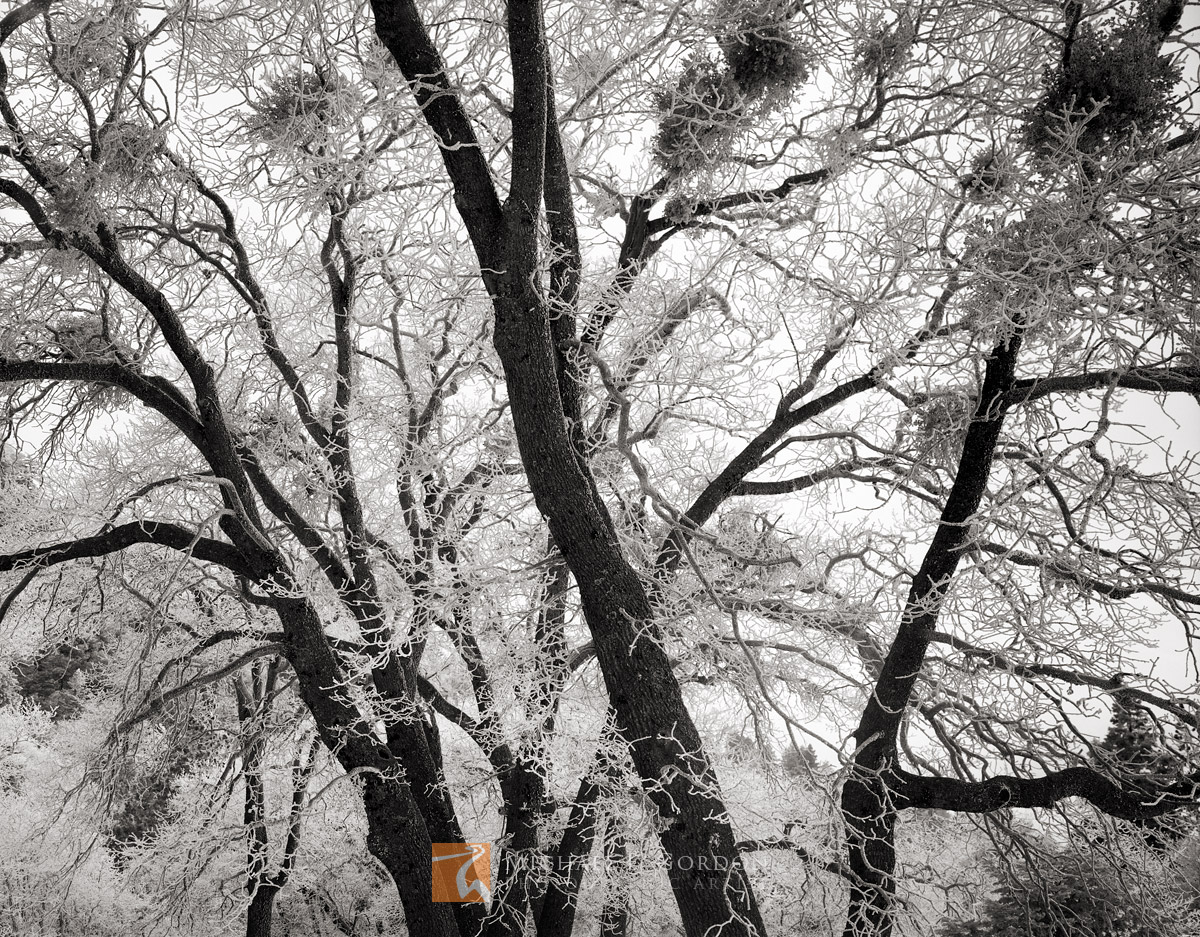 Leafless, winter, oak, trees, Quercus, rime, frost, Sierra Nevada, California, photo