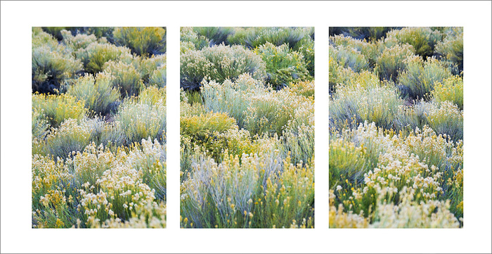 A Rabbitbrush garden (Chrysothamnus) in southwestern Utah (triptych).Logos and watermarks are not found on any printed product...