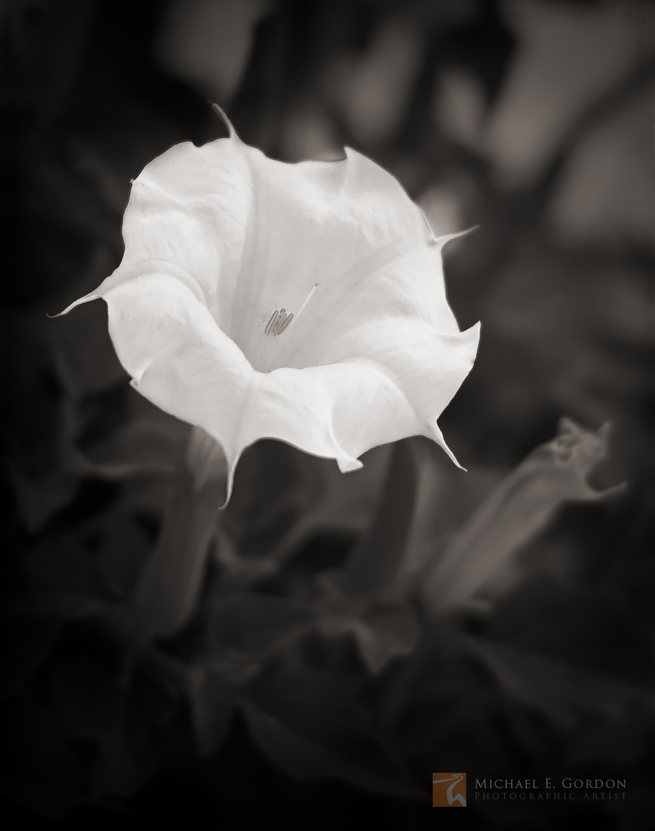 photo, photograph, picture, b&w, black and white, black & white, flower, blossom, perfume, night, blooming, bloom, Sacred Datura, Datura wrightii, Jimson weed, Devil's Weed, Yerba del Diablo, hallucin, photo