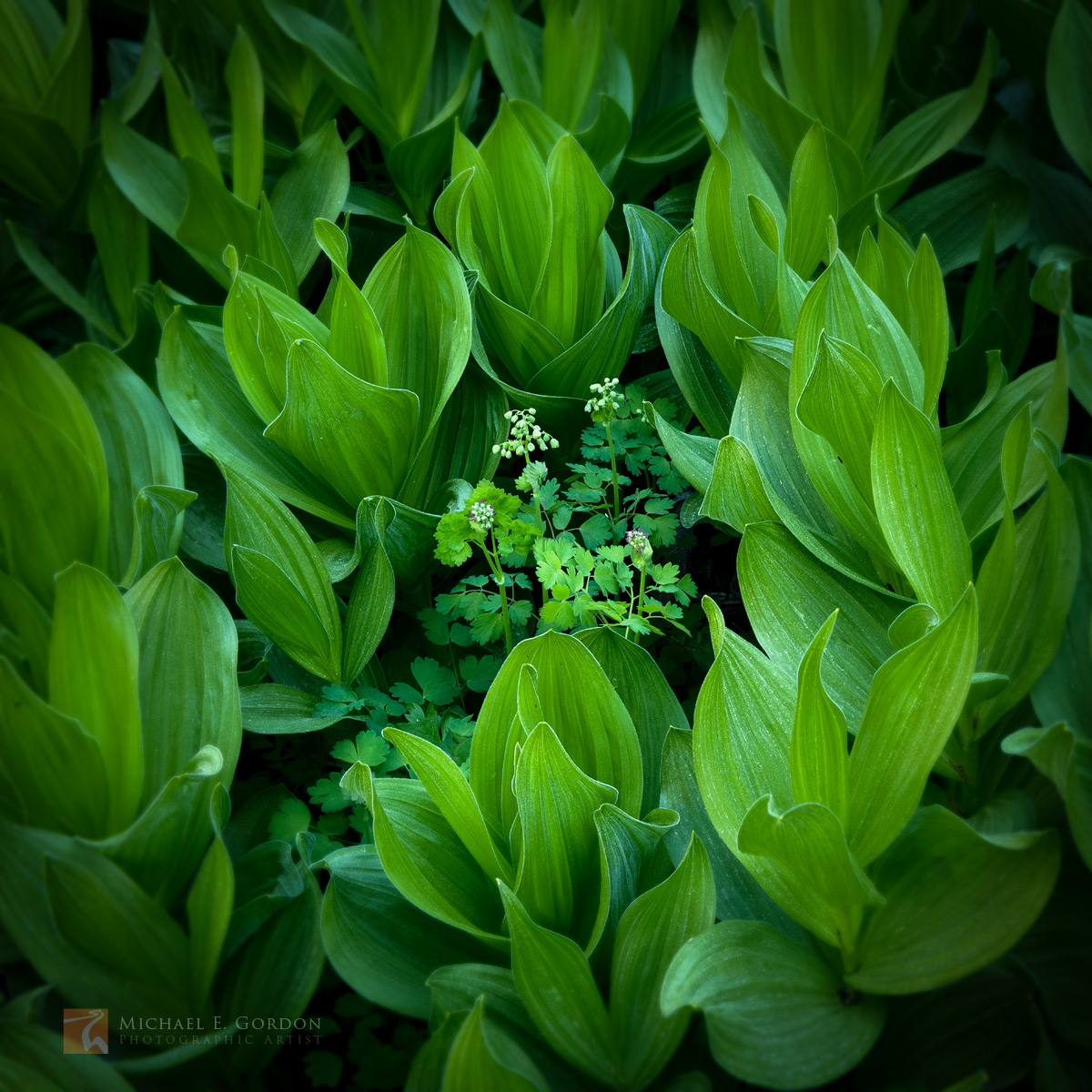 Fendler's Meadow Rue (Thalictrum fendleri) in the sheltered embrace of California Corn Lily (Veratrum californicum).