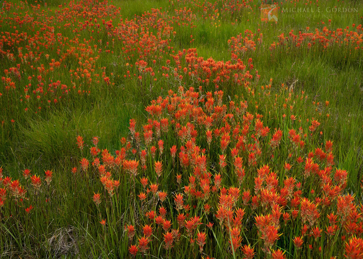 beautiful, high, mountain, meadow, lush, Wyoming Paintbrush, Castilleja linariifolia, White Mountains, California, red,, photo