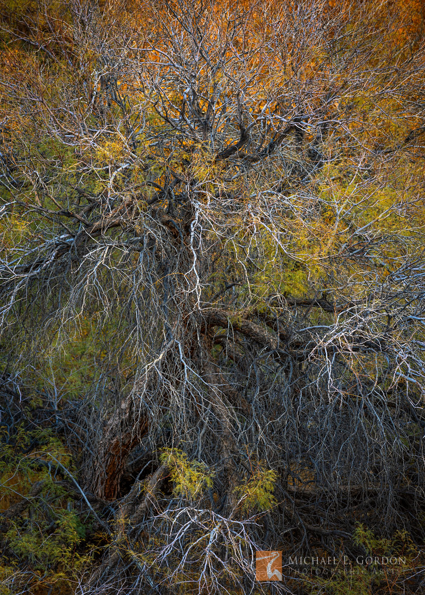 wild, elegant, wiry, form, electric, Honey Mesquite, Prosopis glandulosa, fall, hues, autumn, color, yellow, orange, green, Death Valley, canyon, photo