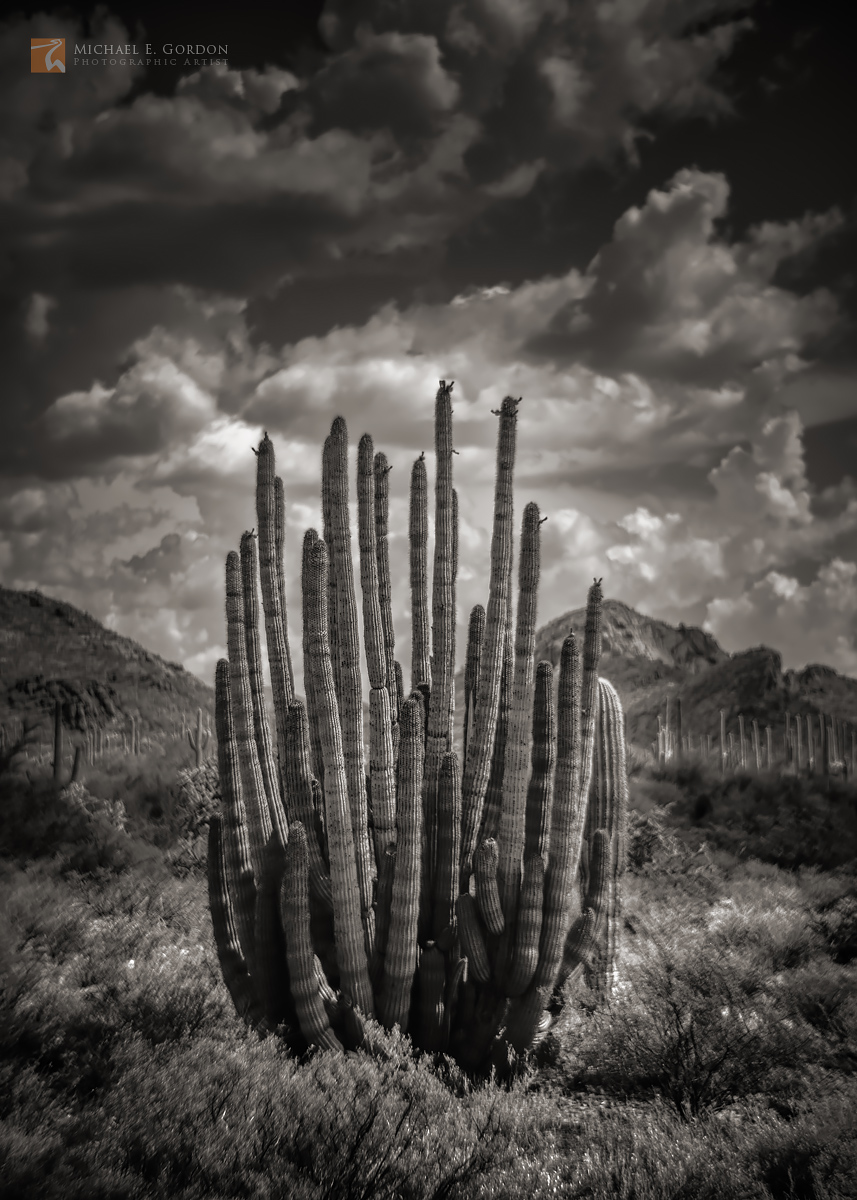 A beautiful Organ Pipe Cactus (Stenocereus thurberi) before summer monsoon clouds in the Ajo Mountains.