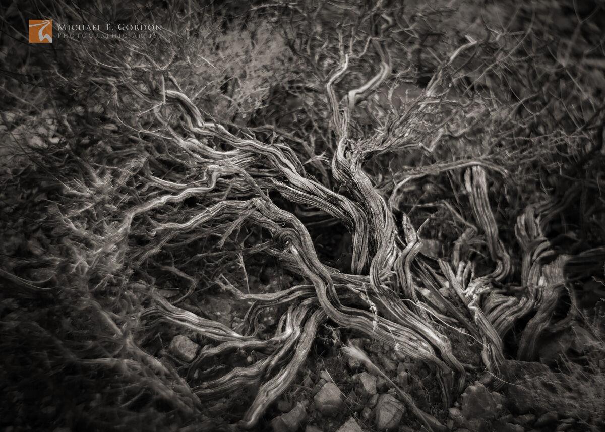 An elegant woody  ancient and gnarled California Buckwheat specimen (Eriogonum fasciculatum) in Death Valley National Park, California...