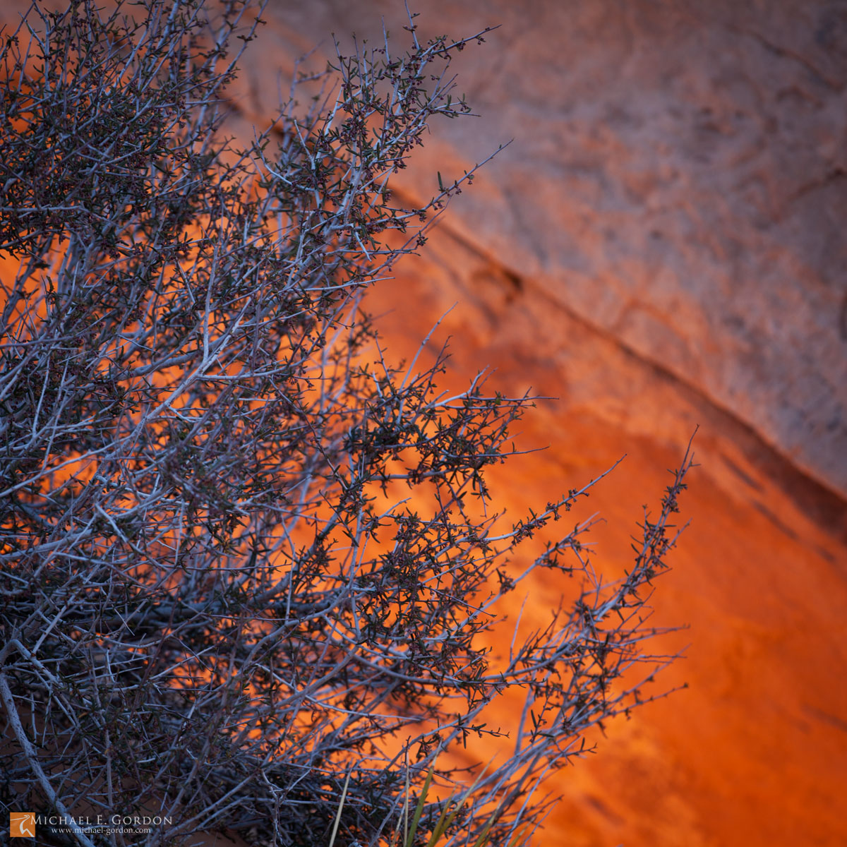 Blackbrush (Coleogyne ramosissima) and the glowing sandstone Mesa Arch at sunrise. Island in the Sky, Canyonlands National Park...